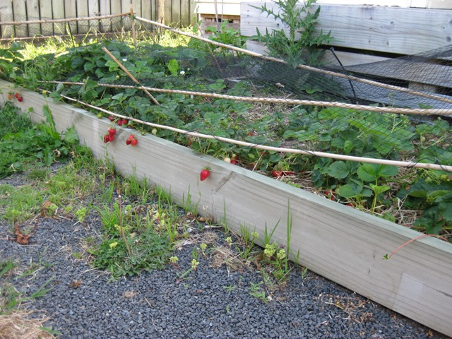 28 raise garden bed for strawberries life at split for Strawberry garden designs